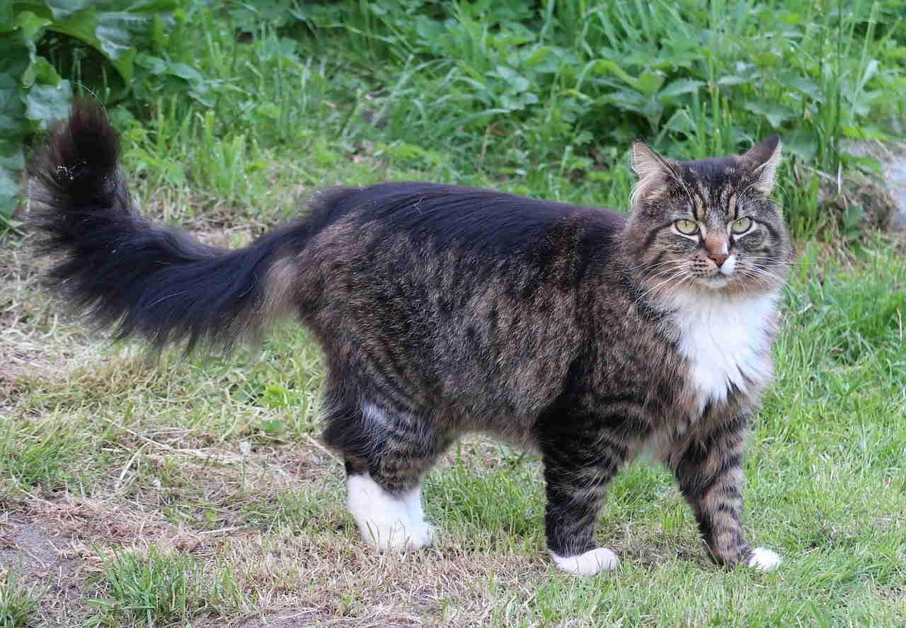 Кошка, Норвежская Лесная Кошка, Животные