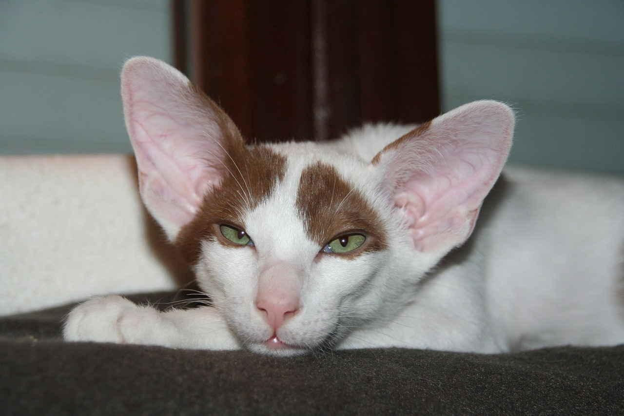 Кошка, Усталый, Котенок, Ориентальная кошка, Короткошерстная