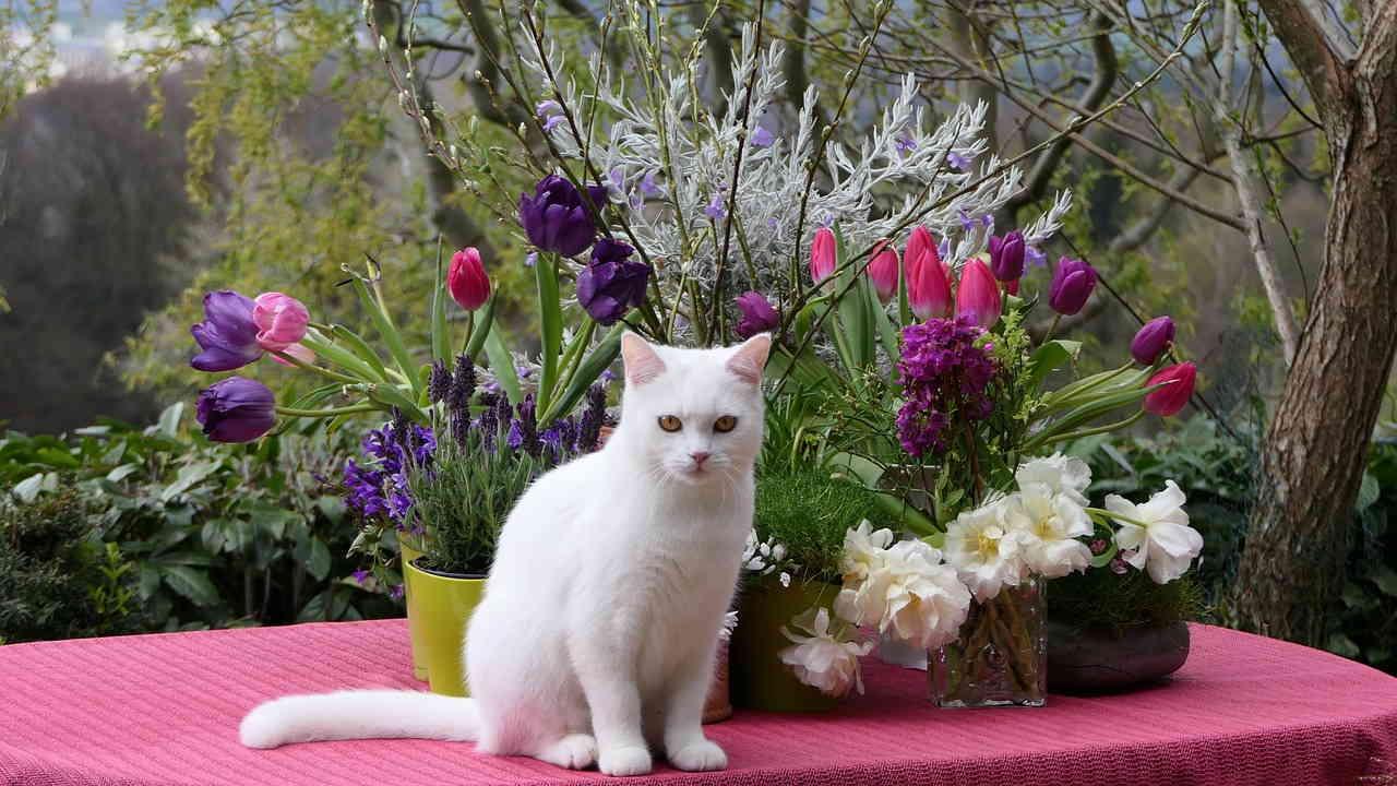 Белый Кот, Кошка Породы, Фелис Катус, Турецкий Ван